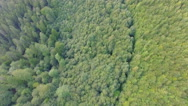 Young pine forest. aerial footage Stock Footage