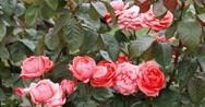 Pink roses in garden. Rose bush in spring garden shot Stock Footage