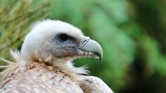 Close Up Portrait Of A Griffon Vulture Stock Footage
