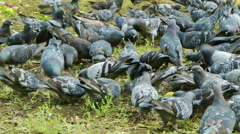 Very hungry pigeons. Stock Footage