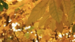Yellow maple leaves sliding focus Close up of beautiful magic autumn trees Stock Footage