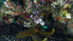 Harlequin shrimp (Hymenocera elegans) on top of sea star and checking it Stock Footage