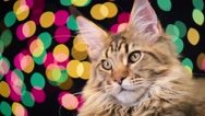 Cat with Christmas garland Stock Footage