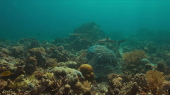 Grey reef shark on a coral reef 4k Stock Footage