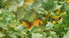 Autumnal Oak Leaves Late summer early autumn sunlight through oak leaves Stock Footage