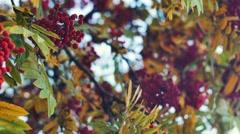 Closeup of orange Rowan berries or Mountain Ash tree with ripe berries in autumn Stock Footage