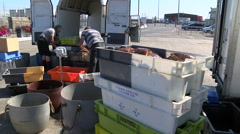 Fishermen unloading spider crabs at the harbour/wharf. Boxing up the live crabs  Stock Footage