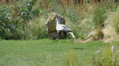 4K Secretary bird at a conservation center with visitors watching Stock Footage