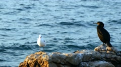Seagull and cormorant - pan right Stock Footage