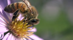 Super close up bee pollinating flower and fly away Stock Footage