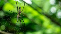 Female Golden Web Spider Nephila pilipes Stock Photos