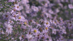 HoneBee pollinating flower and fly away Stock Footage