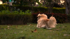 Slow motion One dog lay down on grass field with sun light Stock Footage