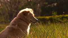 Slow motion One dog sitting on grass field with sun light Stock Footage