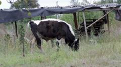 Little Bull Grazing Stock Footage