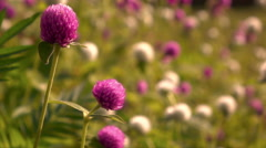 Slow motion amaranth flower blown by the wind Stock Footage
