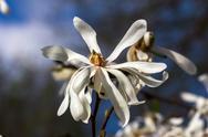 White magnolia Stock Photos