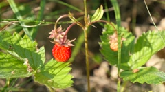 Picking wild strawberries Stock Footage