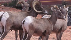 Zion National Park , Sept 2016, CLOSE UP RAM ,EWE Stock Footage