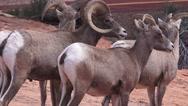 Zion National Park , Sept 2016, CLOSE UP RAM ,EWE Stock Footage