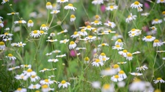 Withered daisies in meadow in late summer, Russia Stock Footage