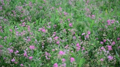 Withered flowers in meadow in late summer, Russia Stock Footage