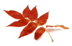 Red autumnal leaf on white background Stock Photos