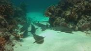 Whitetip Reef Sharks on sandy bottom 4k Stock Footage