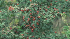 Close up bushes of dog-berries Stock Footage