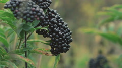 Twig of wild blackberries in forest Stock Footage