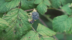Close up twigs of blackberry Stock Footage