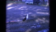 1965: black and white color ducks walking on the ground with shade WAUPACA Stock Footage
