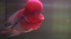 Flower Horn Cliched fish in the aquarium Stock Footage