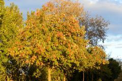 Rowan tree at sunny day. Stock Photos