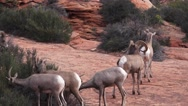 Zion National Park , Sept 2016, ram protecting flock Stock Footage