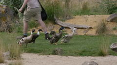 4K Ducks at a conservation center running in enclosure with keeper. Stock Footage