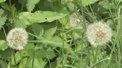4k Close Up Dandelion Plant Grass Nettles Weeds Stock Footage