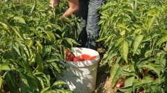 Hands of farmer picking peppers from the plants and loading bucket by Cutter Stock Footage