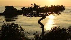 Sunset and gnarled tree, Cape Flattery, Washington Stock Footage