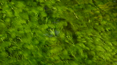 Hornwort (Ceratophyllum echinatum) in clear water spring, Olympic National Park Stock Footage