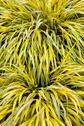 Golden variegated hakone grass Stock Photos