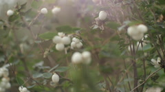The Snowberry white. Art vision Stock Footage