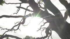 4k Sunlight Lens Flare Tree Silhouette Low Angle Hand Held Stock Footage