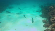 Whitetip Reef Sharks on a coral reef. 4k Stock Footage