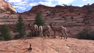 Zion National Park , Sept 2016, sheep in wonderland Stock Footage