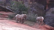 Zion National Park , Sept 2016, kid sheep Stock Footage