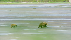 Wild Alaskan brown bear cubs with their mother in the wilderness of Katmai Stock Footage