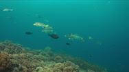 Diagonal banded sweetlips on a coral reef Stock Footage