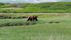 An Alaskan male brown grizzly bear hunting on Katmai Peninsula National Park Stock Footage