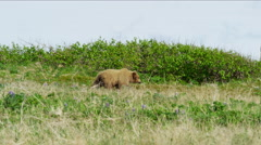 An Alaskan mother brown bear with her young cubs hunting on Katmai Peninsula Stock Footage